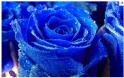 trandafiri_albastri_simbolul_iubirii_si_prosperitatii.png